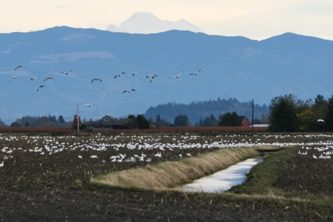 Flock of snow geese in the Skagit Valley