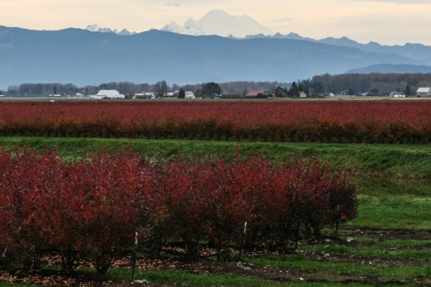 Blueberry bushes, Skagit Valley