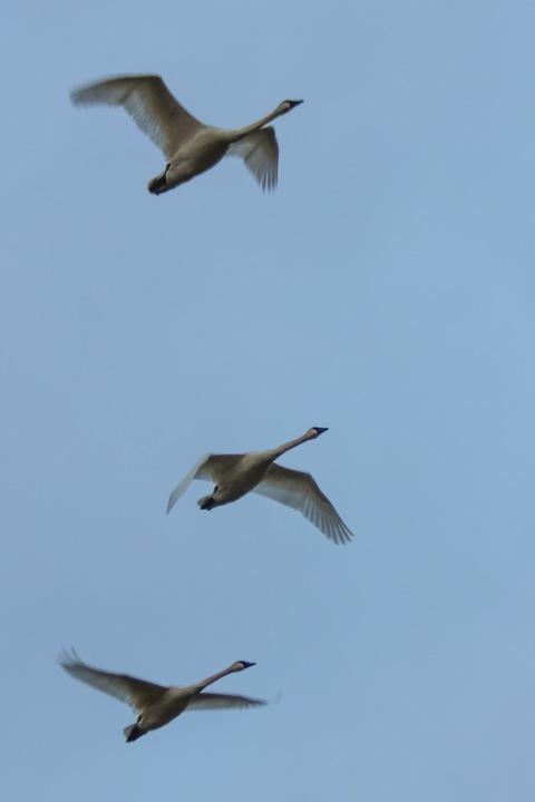 Swans like white crosses