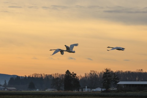 Skagit swans at sunrise