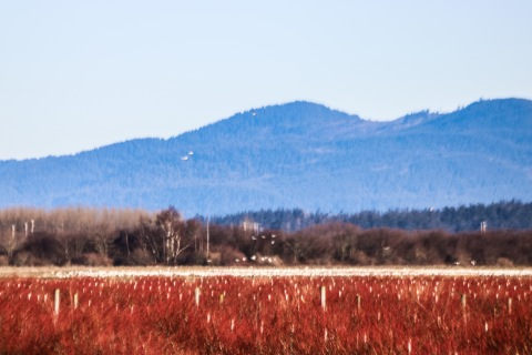 The white streak is a flock of snow geese -- so distant. I could not get closer.