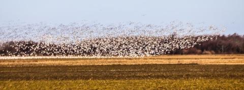 Snow geese, Skagit Valley