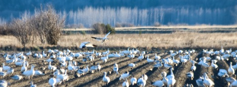 Snow geese in a field near Anacortes