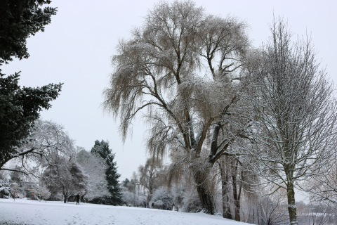 Weeping poplar, snowy landscape