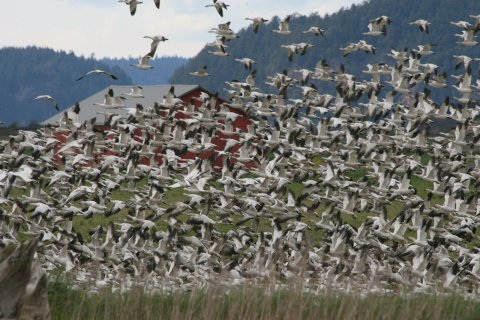 Snow geese in flight, Skagit Valley, 2012