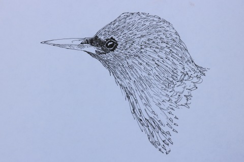 Starling portrait, ink sketch